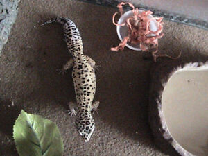 Leopard Gecko and its tank and accesories