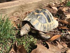 Lost Hermann Tortoise/Turtle in Oakville REWARD!!!