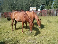 Reg'd AQHA 2 yr. old fillies