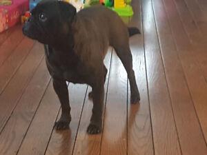 Black pug male