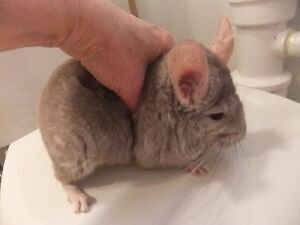 Young Male Chinchilla