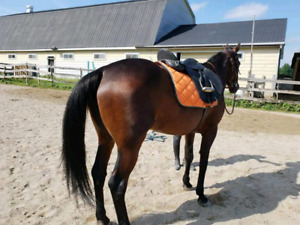 Standardbred Mare age 9 standing at 15.1hh