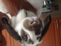 Six month female Holland Lop