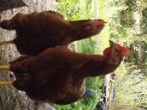 4 Month Old Rhode Island Red Roosters