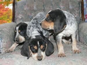 Chiots Bluetick Coonhound