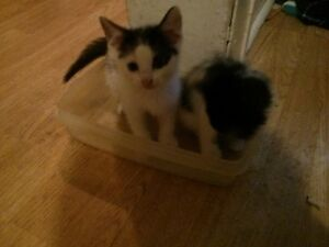 FREE 2 kittens & 2 calico female cats