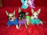 Adorable tiny chihuahua puppies for sale!!!