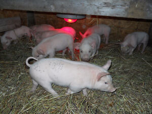 Weaner Pigs For Sale