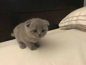 one month old Scottish Fold and British Shorthair for sale