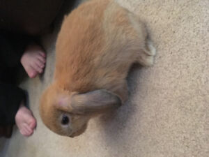Purebreed Holland lop bunnies