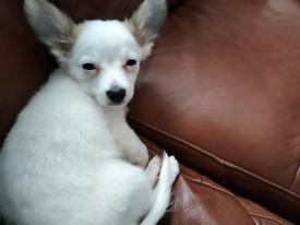Jackwawa puppy lovely boy