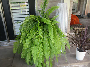 BOSTON FERNS