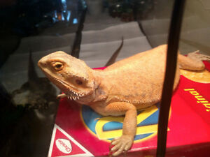 2 Bearded Dragons with big tank and lights and food