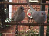 Baby diamond doves