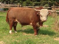 Bull, Miniature Hereford