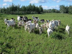 Goats: Alpine/ Sannen/ Boer