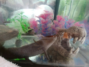 Black axolotl for sale