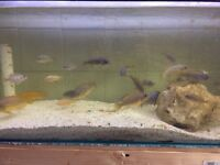 Cichlids for sale ALL MUST GO