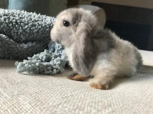 Harlequin Holland lop baby bunnies