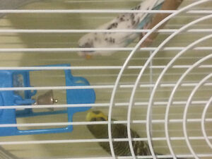 Male (green) & female (white and blue) budgies 2 yrs old