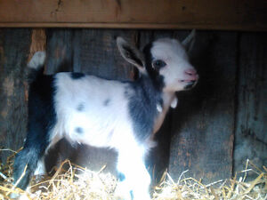 Baby pygmy goats for sale