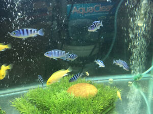 Assorted Cichlids for sale