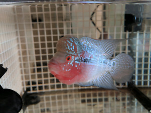 "Thailand imported super red dragon 3""+"