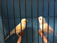 Lots canaries for sale