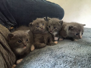 Kittens ready to go July 1st!
