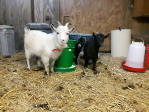 9 month male pigmy goat