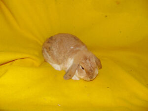 Adult Holland Lop Female