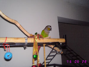 Two Green Cheek Conures with Large Cage Stratford Kitchener Area image 2
