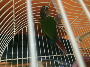 Green cheek conure  young with cage and food