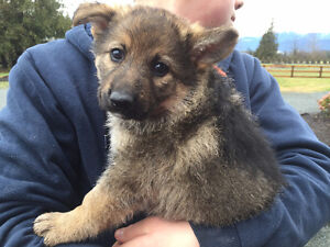 Update! Only one female German shepherd pup left for sale!