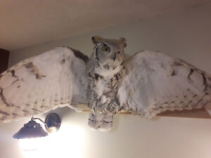 Great Horned Owl, Beautifully Mounted, Have Gov't Permit
