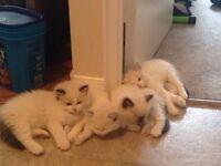 Registered Ragdoll Kittens