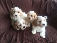 Beautiful cavachon puppies