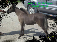 Yearling Bay Miniature Mare - AMHR/ASPC