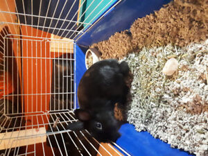 Male lionhead rabbit looking for a forever home
