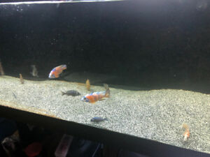 Adult peacock cichlids