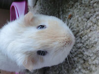 Cute Male Guinea Pig For Rehoming