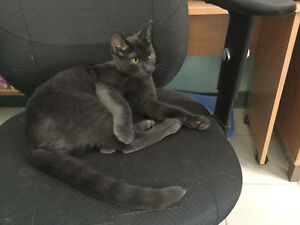 """grey male young cat """"NICKLE"""" London Ontario image 4"""