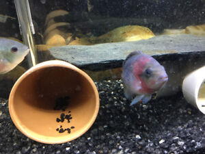 Veija Synspila (Redhead Cichlid) around 3 -1/2 inch for sale