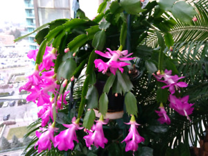 Indoor plant: blooming Christmas Cactus