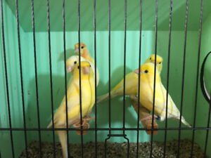 Yellow canaries for sale