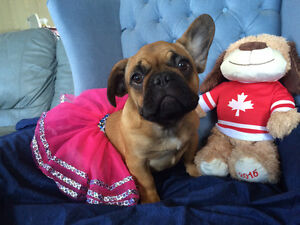 Beautiful Red French Bulldog Female Puppy Available