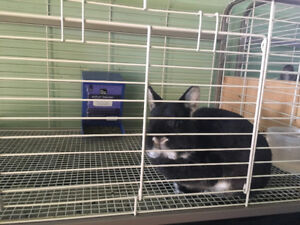 2 rabbits and accessories for sale
