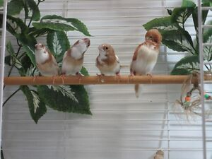 Fawn Pied Society Finches
