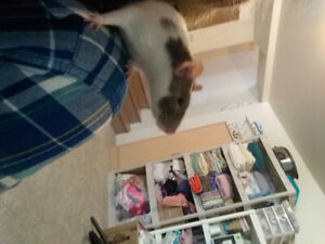 2 Female Rats with Cage