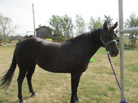 Well broke 9 yr old bay mare